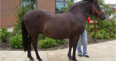 A pony showing generalised obesity.