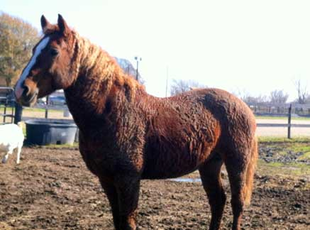The stallion Chester is heterozygous for the KRT25 gene, as well as the Curly Jim mutation. He is owned by Angie Gaines.