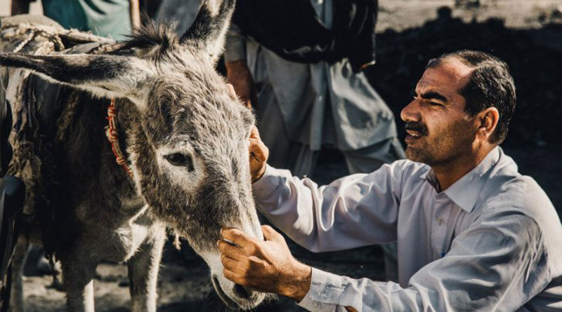 Dr Rab Navaz takes a look at a working donkey in Pakistan.