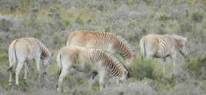 A quagga-like zebra named Freddy grazes with his offspring in October last year.