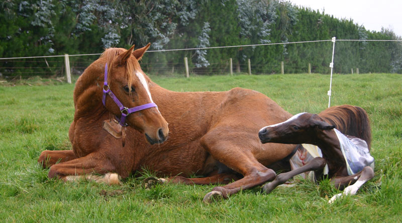 Researchers have successfully protected foals against a dangerous form of pneumonia by immunizing the mares before birth. Photo: File