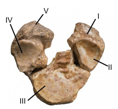 Bottom of fossilized forelimb with five surfaces of differing texture, which suggests five digits are still present on today's horse.