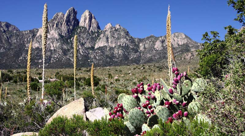 Organ Mountains, New Mexico, with Engelmann's pricklypear (Opuntia engelmannii) and sotol (Dasylirion wheeleri).