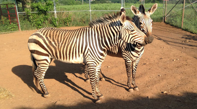 Hartmann's mountain zebras Yvonne, at right, with Xoloni. Yvonne died on December 31.