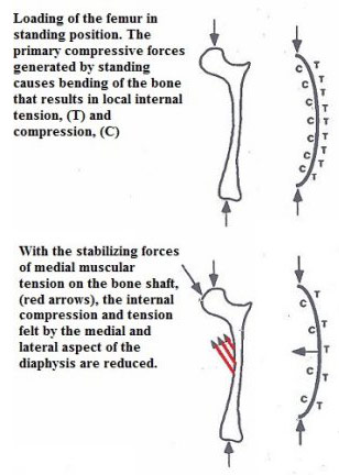 Releasing these muscles, (red arrows) compromise the systems allowing the bone to withstand forces.