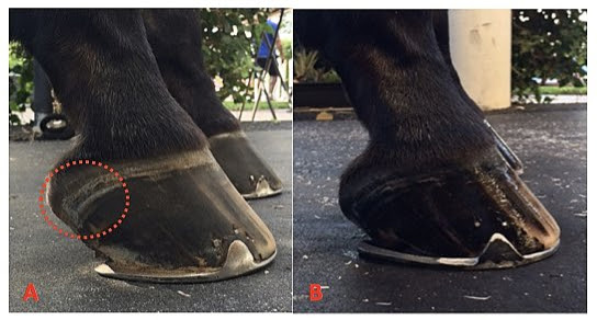 Left: A foot where heels have migrated forward. The red circle shows the soft tissue structures displaced out of the hoof capsule and thickened. Right: This shows the same foot after the heels have been trimmed and a larger shoe has been fitted.