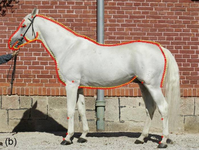 The outline curves were transformed into single sliding semi-landmarks, as shown on the Shagya Arabian stallion.