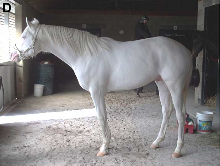 A Thoroughbred stallion with one form of dominant white. His skin, hooves, and coat lack pigment cells, giving him a pink-skinned white coat. Photo: Haase B, Brooks SA, Schlumbaum A, Azor PJ, Bailey E, et al. CC BY-SA 2.5 via Wikimedia Commons