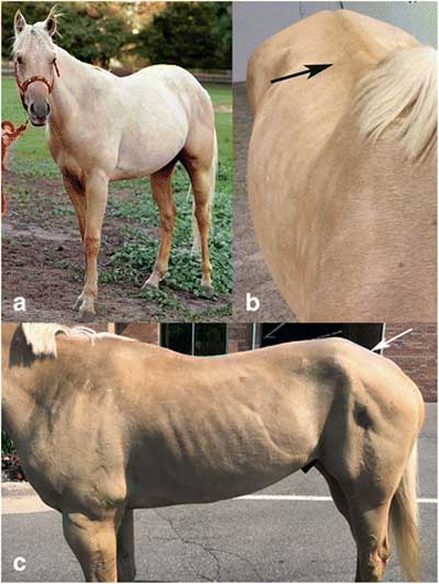 """A"" shows a normal muscle mass in an MYH1 E321G homozygote horse prior to developing IMM. B shows the same horse four months after an episode of IMM. The spine is prominent due to loss of epaxial muscles (arrow). C shows wasting of the middle and superficial gluteal muscles (arrow) is present. Photos: Finno et al. https://doi.org/10.1186/s13395-018-0155-0"