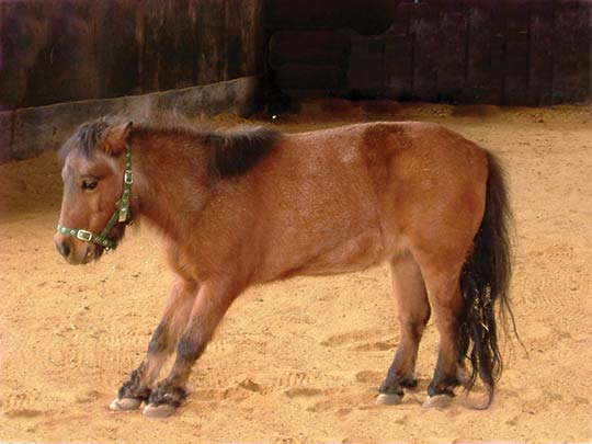 A pony showing the laminitic stance.