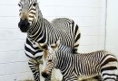 Breeding success for rare zebra species as fourth filly foal born