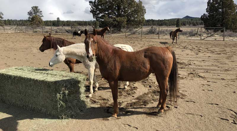Seventy-five horses remain under care at the Deschutes County Sheriff's Office Rescue Ranch in Bend after eight were euthanized due to hoof problems.