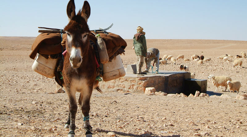 A working donkey in the Middle East.