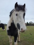 Former Bodmin Moor pony Beastie is looking for a new home.