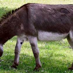 Big tick for research: Donkeys may provide new repellent