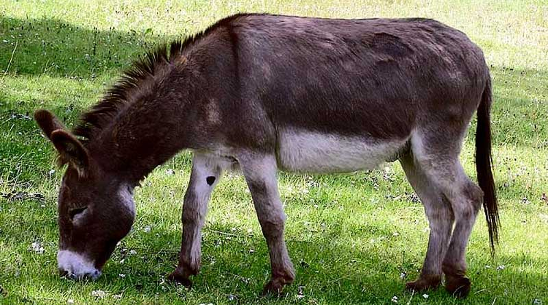 donkeys are resistant to the Amblyomma sculptum tick Big tick for research: Donkeys may render novel repellent