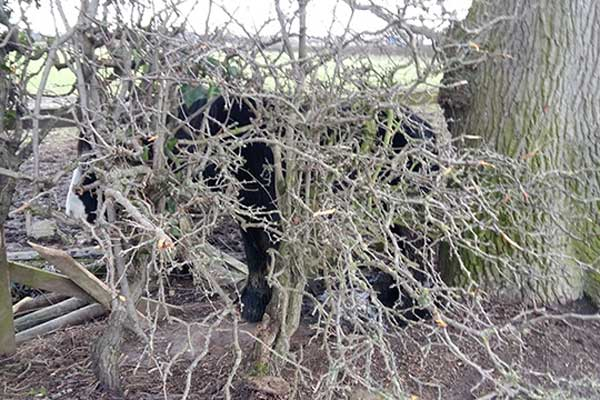 The pony had been trapped behind a hawthorn bush for four days before being rescued. Photos: World Horse Welfare