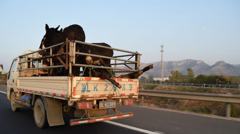 Donkeys being taken to a slaughterhouse near Dong'e, China.