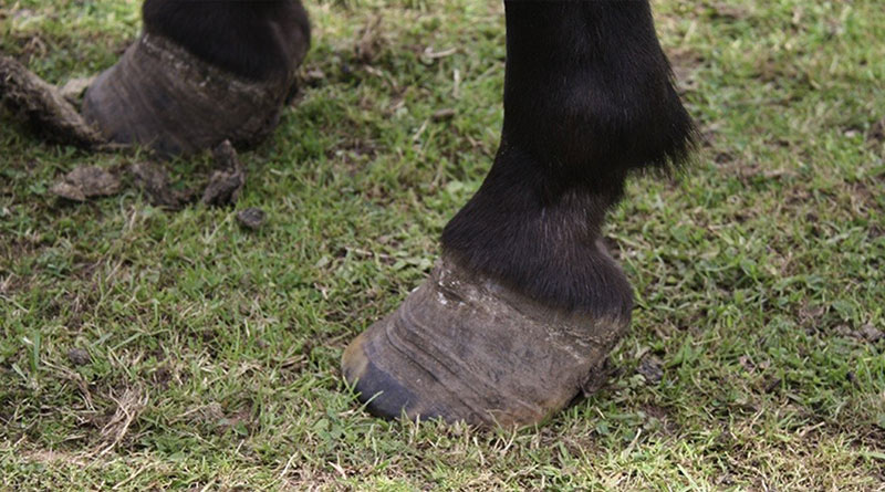 Divergent rings on the outer hoof wall of a pony without current lameness. © McGowan et al., https://doi.org/10.1016/j.tvjl.2017.11.011