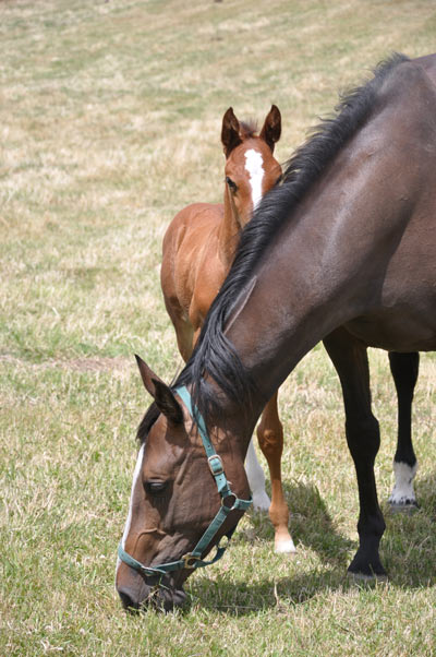Warmblood Fragile Foal Syndrome (WFFS) is an inherited systemic connective tissue disorder.