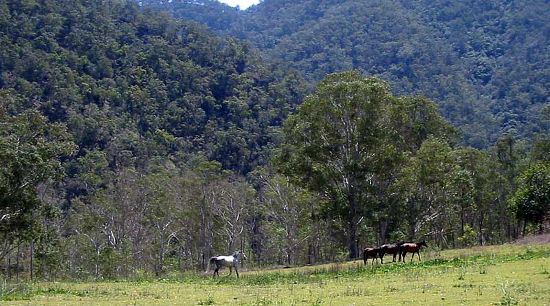 Brumbies on the Chandler River, in Oxley Wild Rivers National Park. Photo: Cgoodwin, CC BY 3.0 from Wikimedia Commons