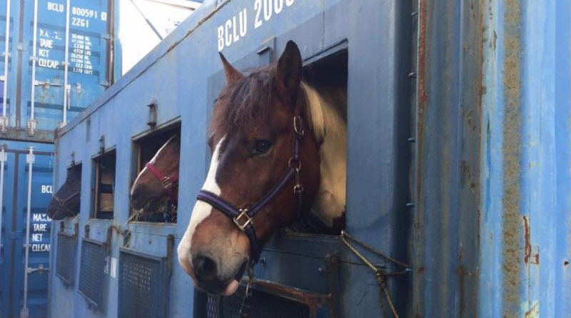 EquiJet assisted in the transport of horses by sea and air to the US for the Bermuda SPCA.
