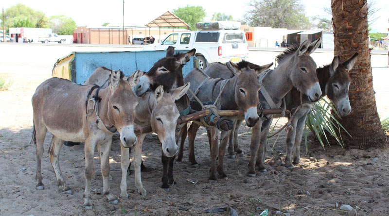 African donkeys seeking shade while taking a break from their work. The ejiao trade is threatening their very survival.
