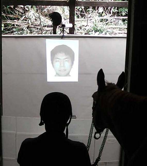 Horses were shown an angry or happy facial expression on the screen followed by a praising or scolding tone of voice during the test. Horses responded differently when the emotions matched compared when they didn't. Photo: Kosuke Nakamura