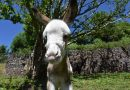 Donkeys not so hardy in cold weather, study finds