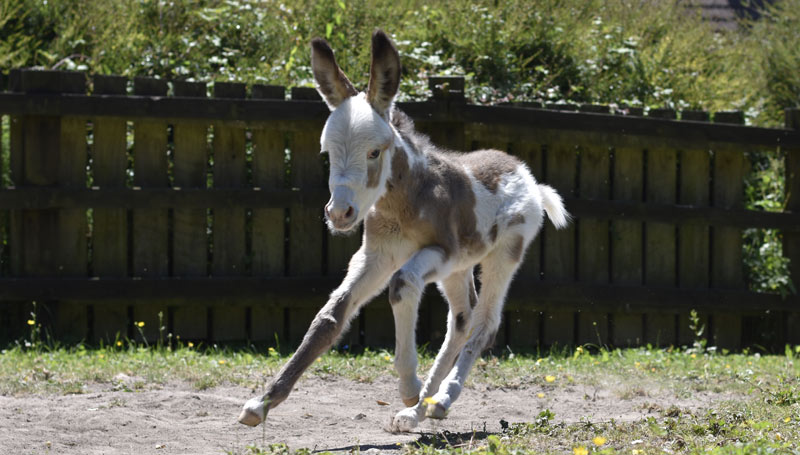 Coby enjoys racing around his paddock at The Donkey Sanctuary's Paccombe Farm.