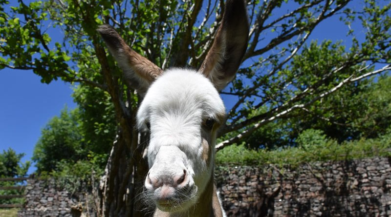 Coby was born at The Donkey Sanctuary in June after the rescue of his mother, Fudge.
