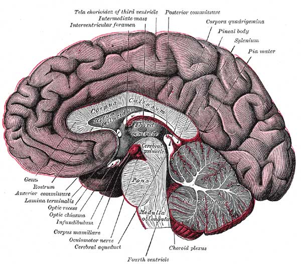 Median sagittal section of brain (person faces to the left). Corpus callosum visible at center, in light gray. © Henry Vandyke Carter - Henry Gray (1918) Anatomy of the Human Body: Gray's Anatomy (Plate 720)