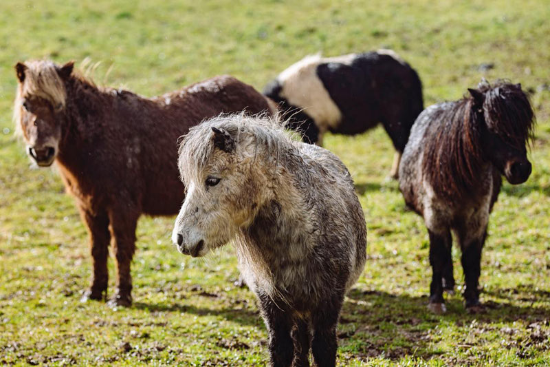 The ponies were found on a property with no food or water, and they were in mud up to their tummies.