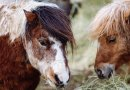 Rescue Shetlands named after Beatrix Potter characters have a story or two to tell