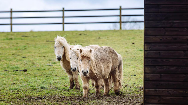 The owner of the ponies was prosecuted for neglect. © Helen Yates/Blue Cross
