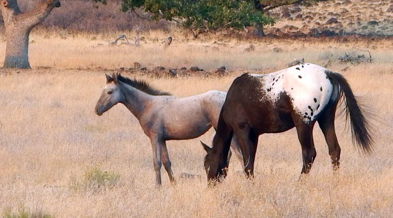 Two members of the wild horse herd near the Simpson ranch in the mountains of the Oregon-California border.