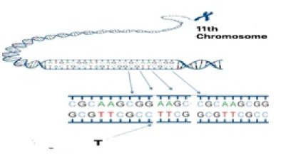 11th equine chromosome showing substitution of a thymine(T) for a cytosine(C) in the SP6 gene