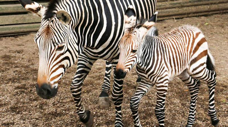 Hartmann's Mountain Zebras Helene and Wakanda, who was born at Blackpool Zoo on September 5.