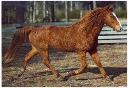 A gaited horse with a heterozygous SP6 mutation.