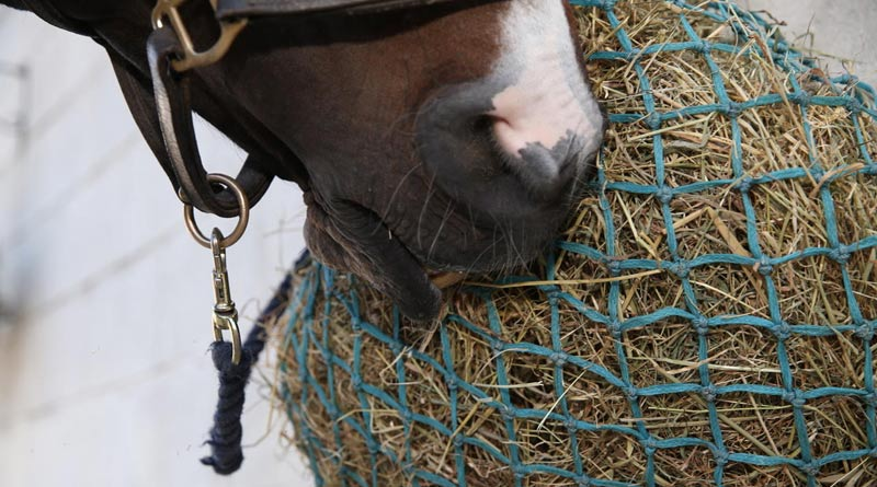 Feeding soaked or steamed hay can help horses affected by asthma.
