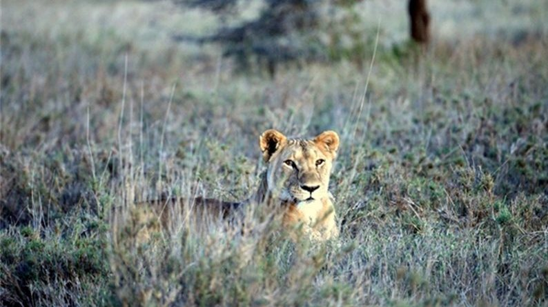 Lion numbers are on the rise in an area of Kenya that is home to the endangered Grey'z zebra. Photo: World Conservation Society