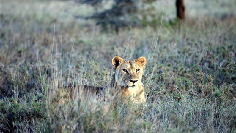 Lion numbers are on the rise in an area of Kenya that is home to the endangered Grevy's zebra. Photo: World Conservation Society