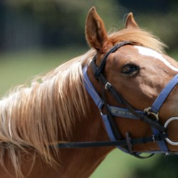 Chestnuts have the most sensitive skin in the horse world, says Jochen Schleese. © Kerry Evans