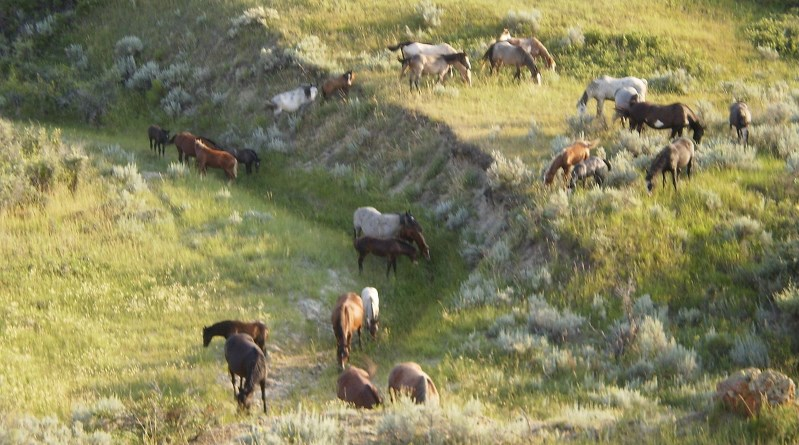 Free-living horses in Theodore Roosevelt National Park. Photo: Podruznik [Public domain], via Wikimedia Commons