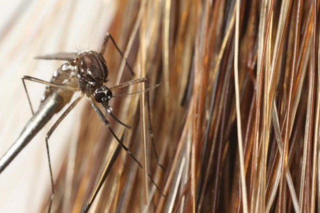 Close-up image shows a mosquito with a horsetail. (Credit: Candler Hobbs, Georgia Tech)