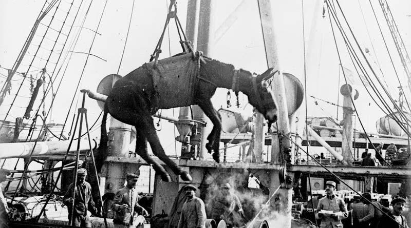 A mule headed for the battlefields of WW1.