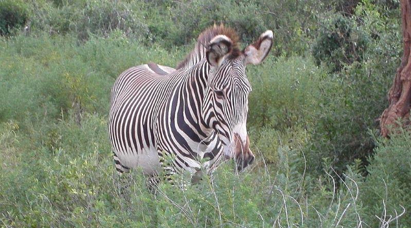 A Grevy's zebra in dense bush. Photo: Jesse Hull CC BY 2.0 via Wikimedia Commons
