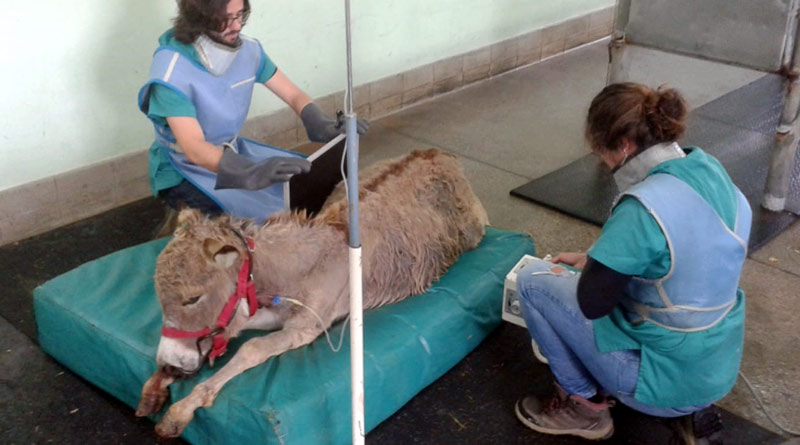 Veterinarians at the Hospital Veterinario San Vicente in Alicante work to save the young donkey.