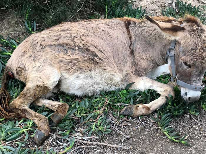 The young donkey was starved and dehydrated, and he also had a severe case of pneumonia.
