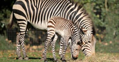 Mini baby boom for threatened zebra species